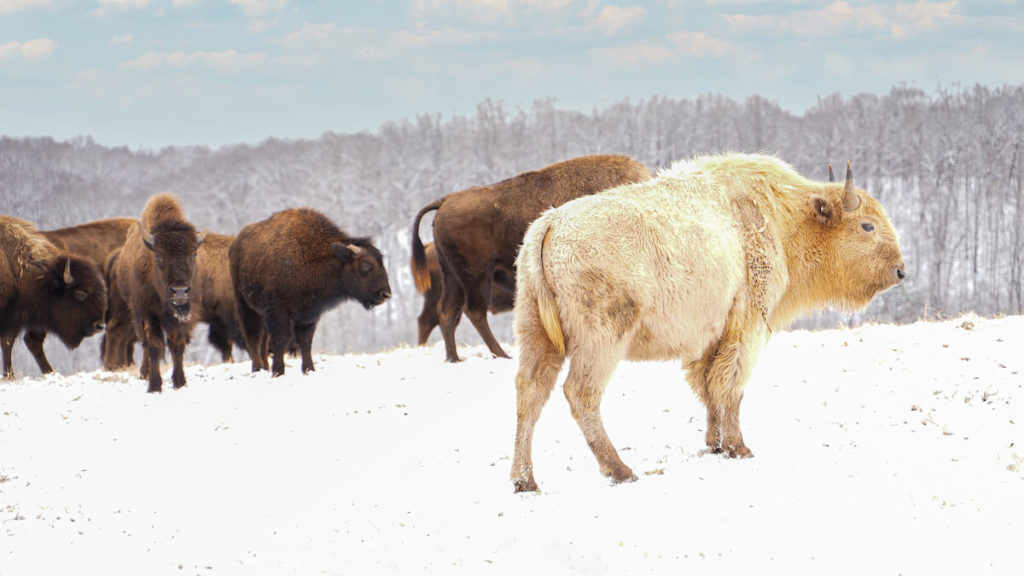 Takoda with Bison Herd in Snow