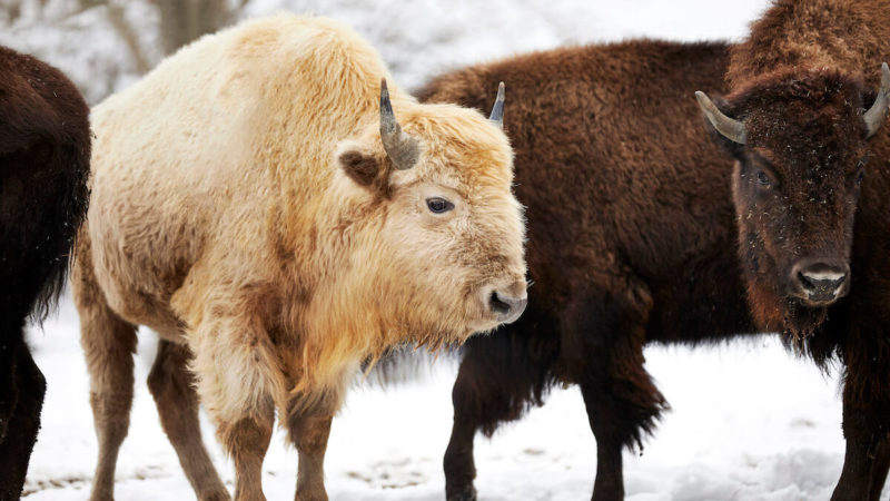 White Bison - Takoda