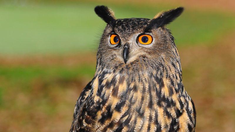 european-eagle-owl-2010346_1920
